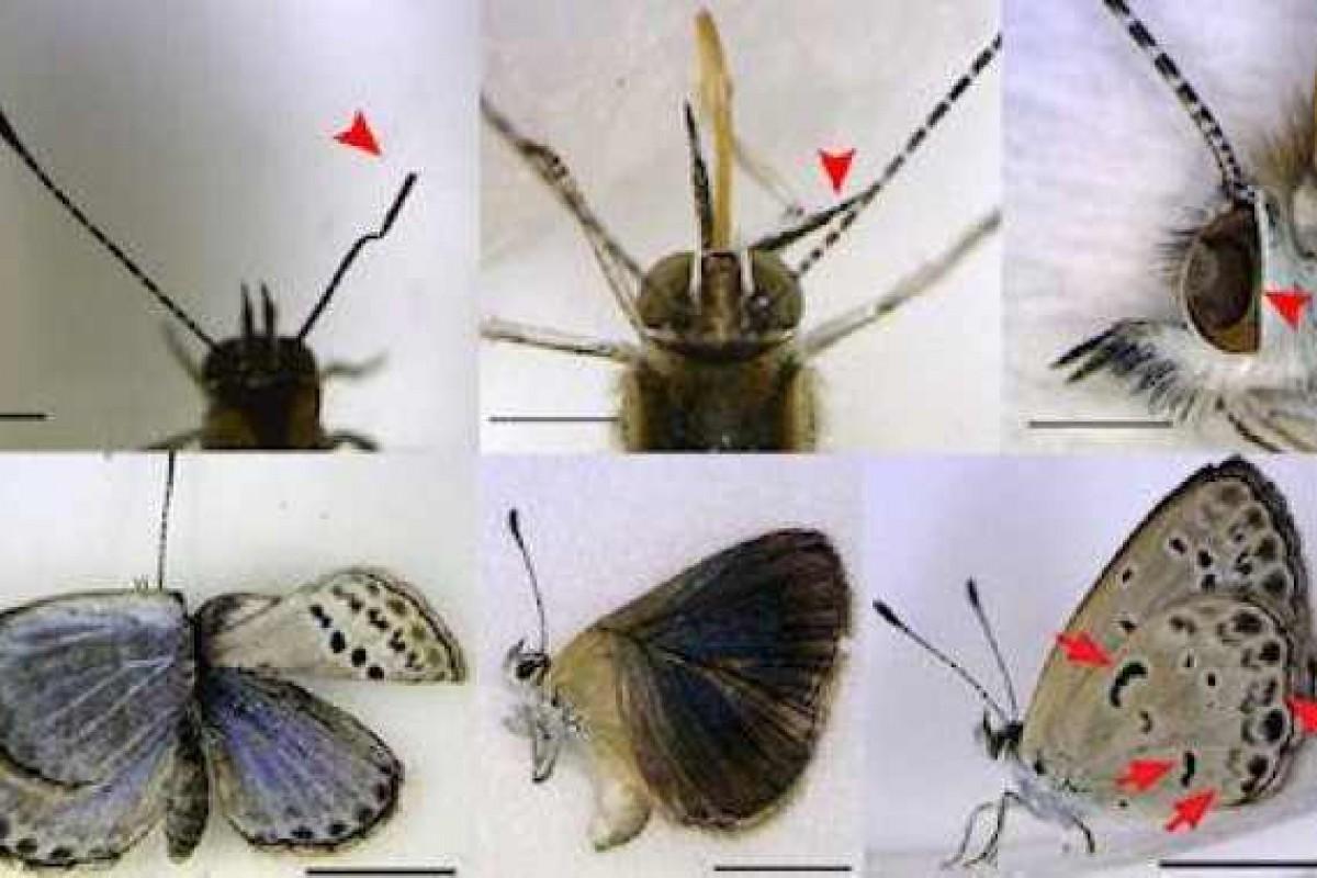 Το ατύχημα στη Φουκουσίμα προκαλεί μετάλλαξη σε πεταλούδες