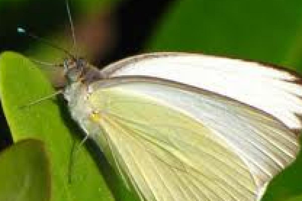 Μία μικρή άσπρη πεταλούδα
