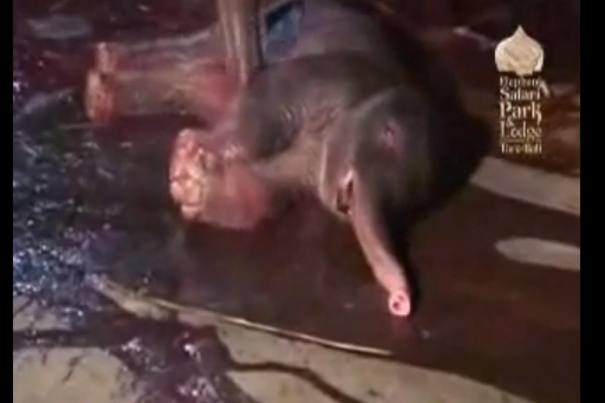 Ο αγωνιώδης αγώνας μιας ελεφαντίνας να σώσει το μωρό της