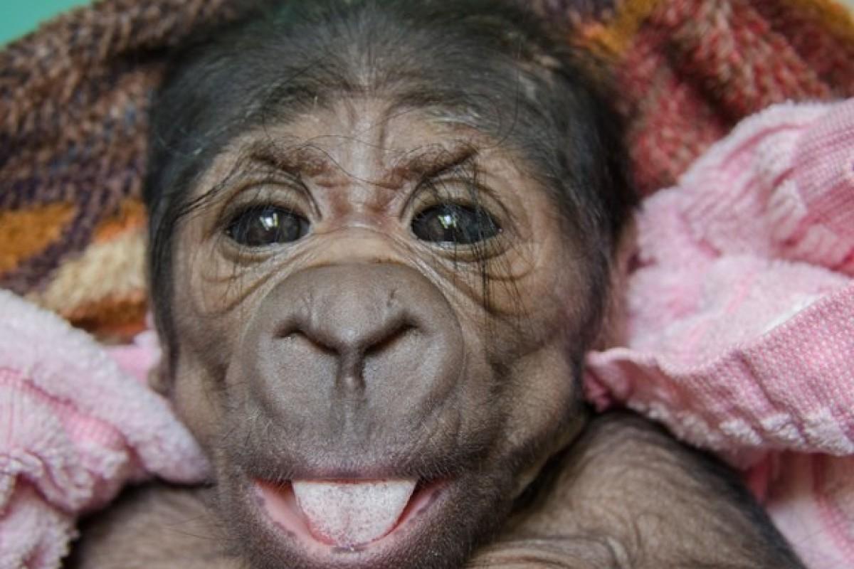 Δεν θα πιστεύετε πόσο μας μοιάζει ένα μωρό γοριλάκι