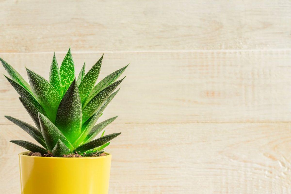 Παχύφυτα: 5 φυτά που αντέχουν στις δύσκολες συνθήκες!