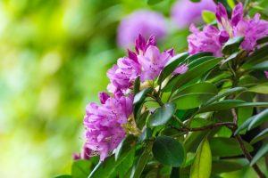 rhododendron-oleksii-sergieiev-1024x6821