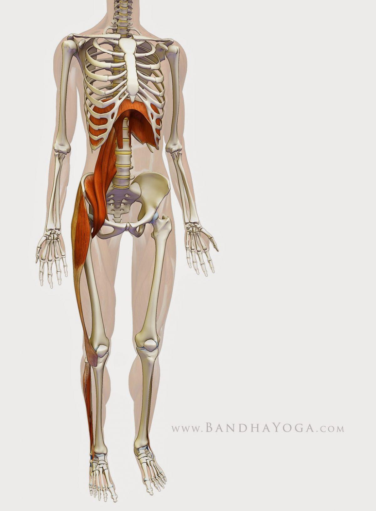 Ψοΐτης μυς: Ο μυς της Ψυχής – Η σημασία του ψοΐτη μυ για την υγεία, τη ζωτικότητα και τη συναισθηματική ευεξία μας.
